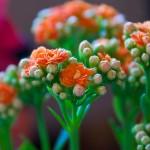 Каланхоэ: красота и польза в одном вазоне
