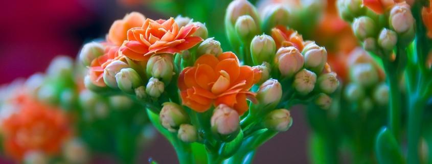 Изящные цветоносы каланхоэ