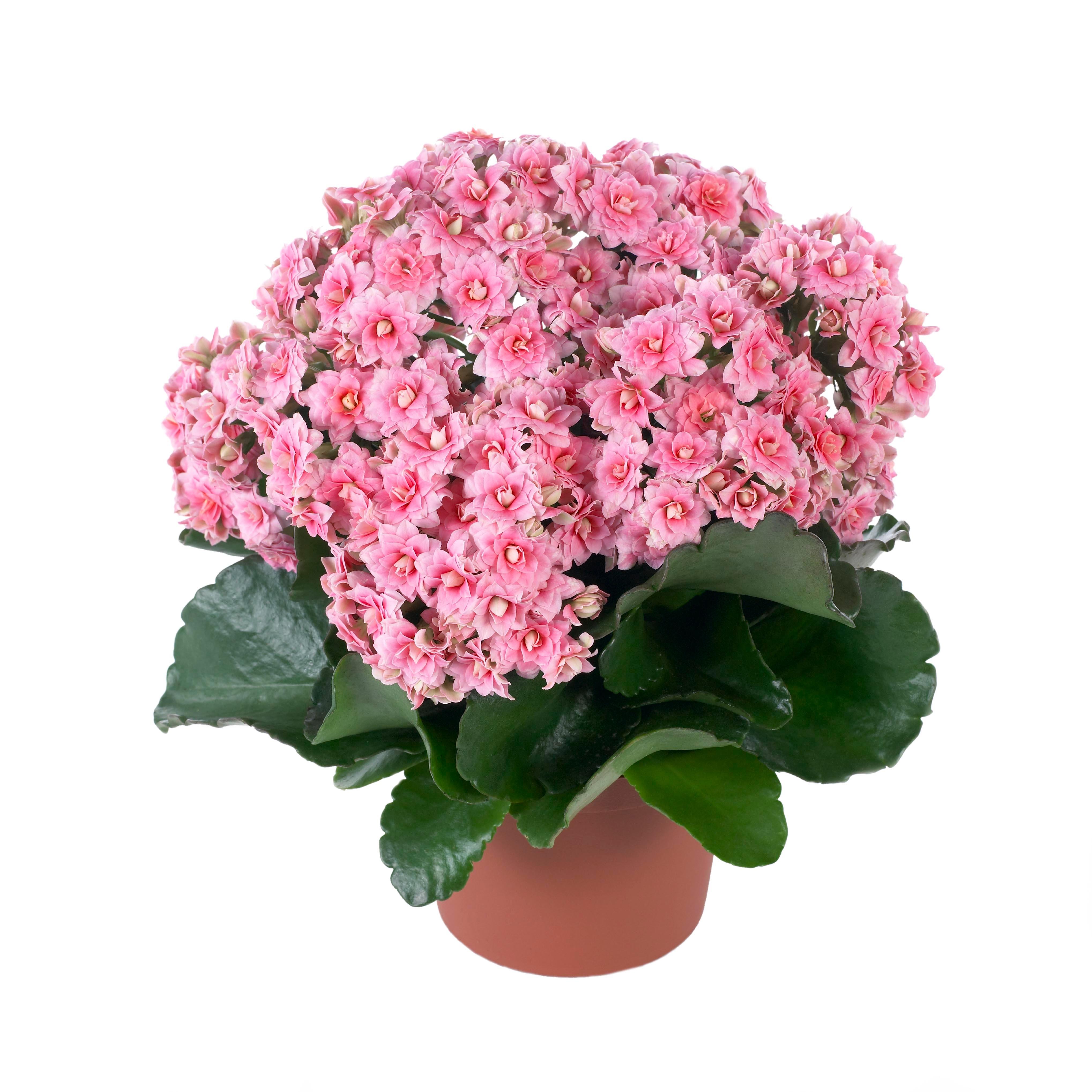Нежные розовые цветки каланхое