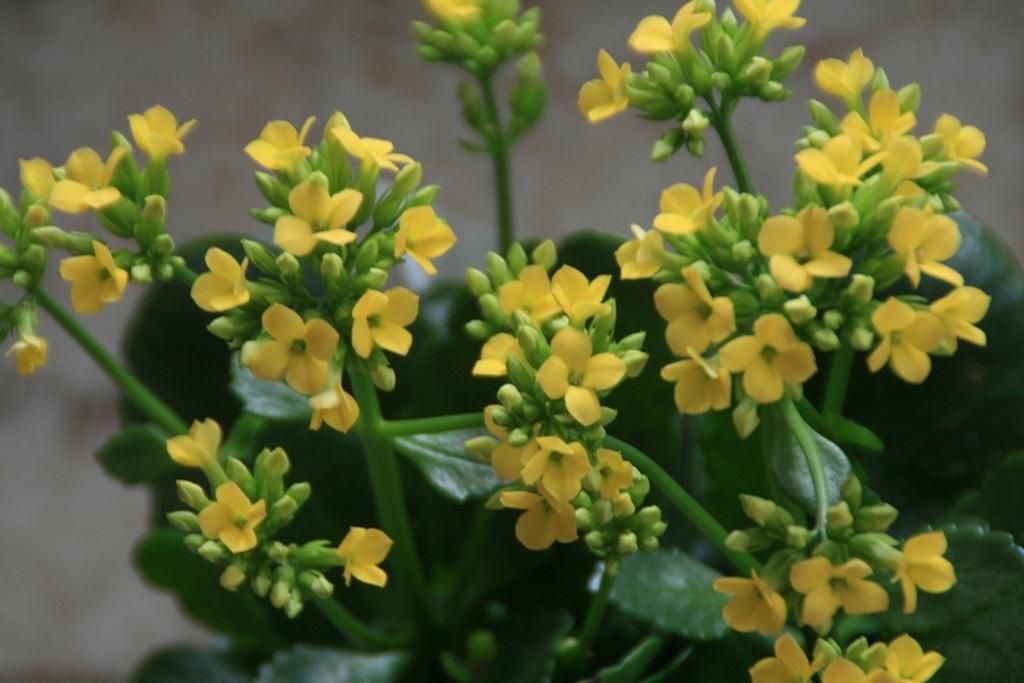 Мелкие цветки каланхоэ