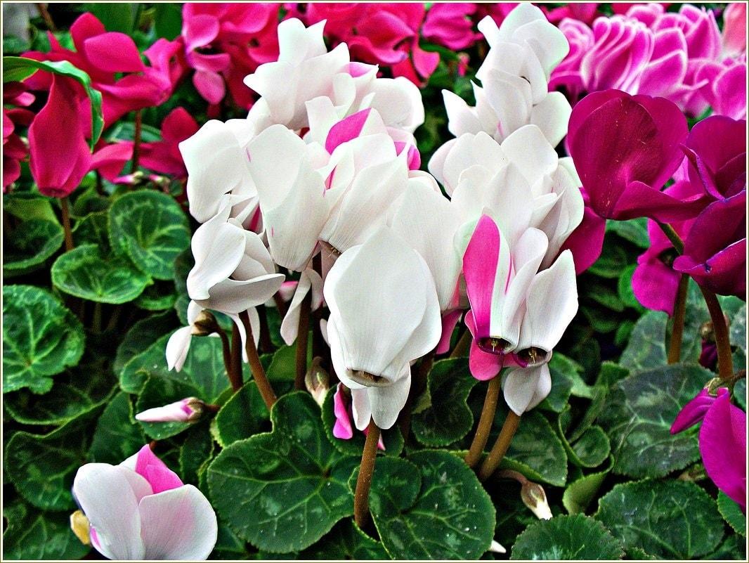 Разноцветные цветки цикламена