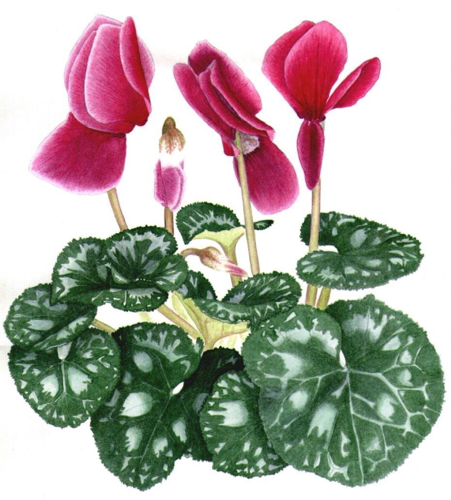 Необычная окраска листьев цикламена