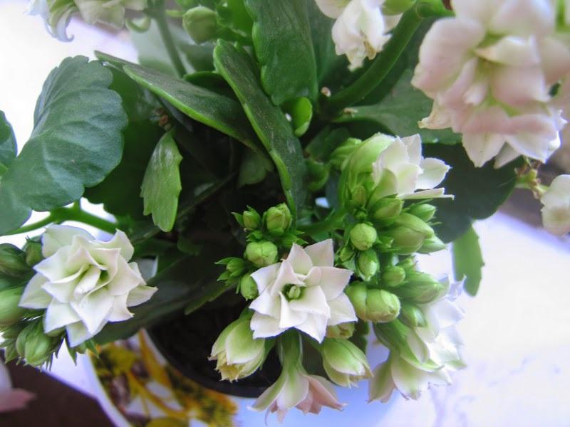 Нежные лепестки цветов каланхоэ