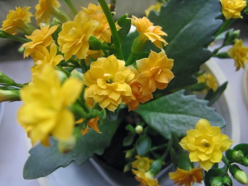 Желтые соцветия каланхоэ
