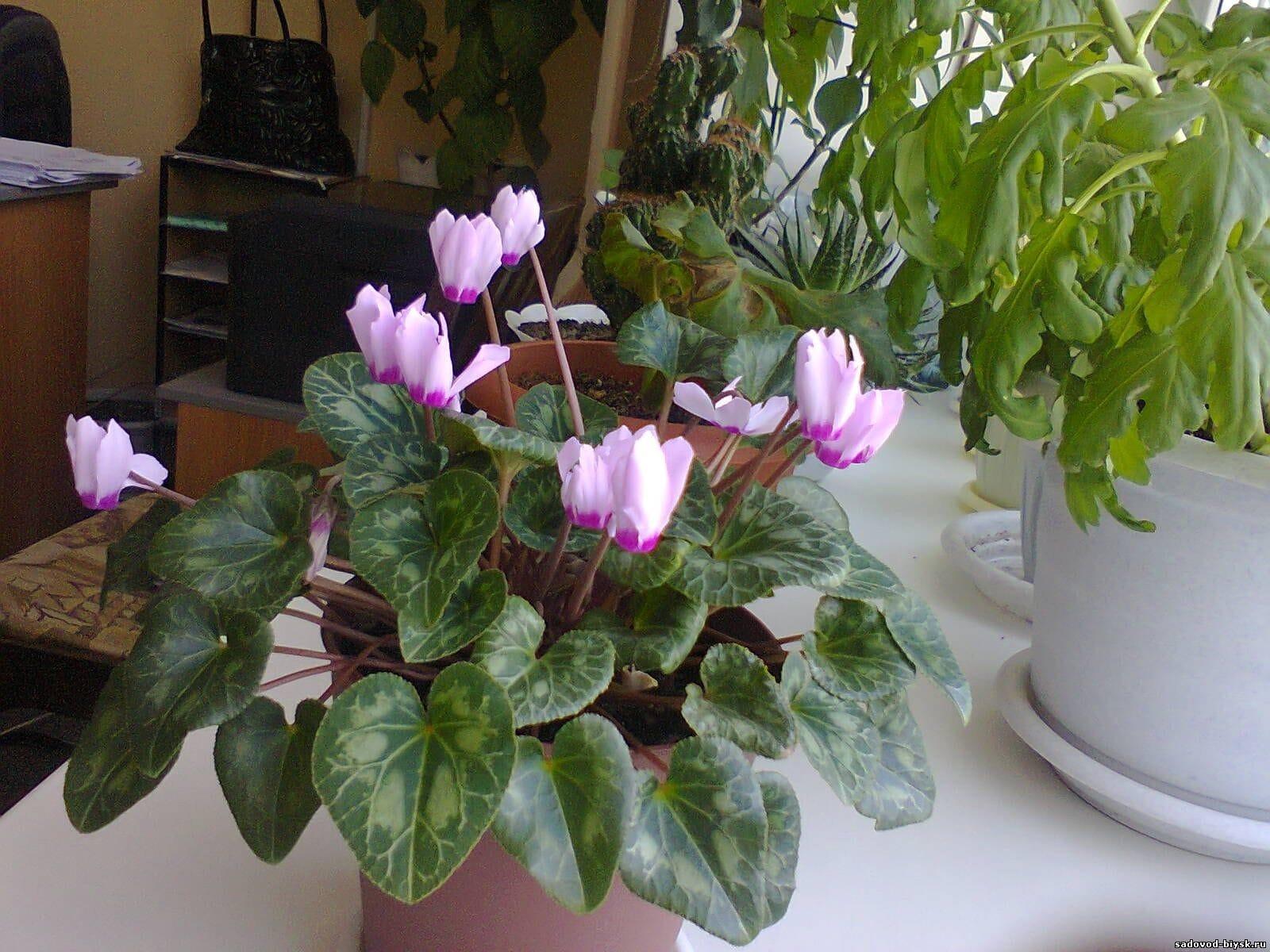 Молодой цветок цикламена