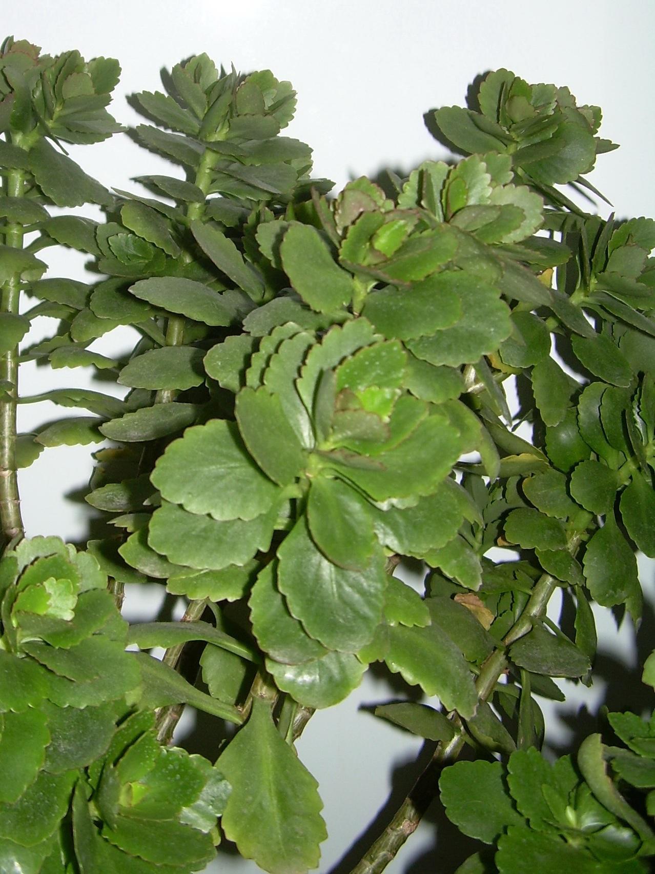 Зеленая листва каланхоэ