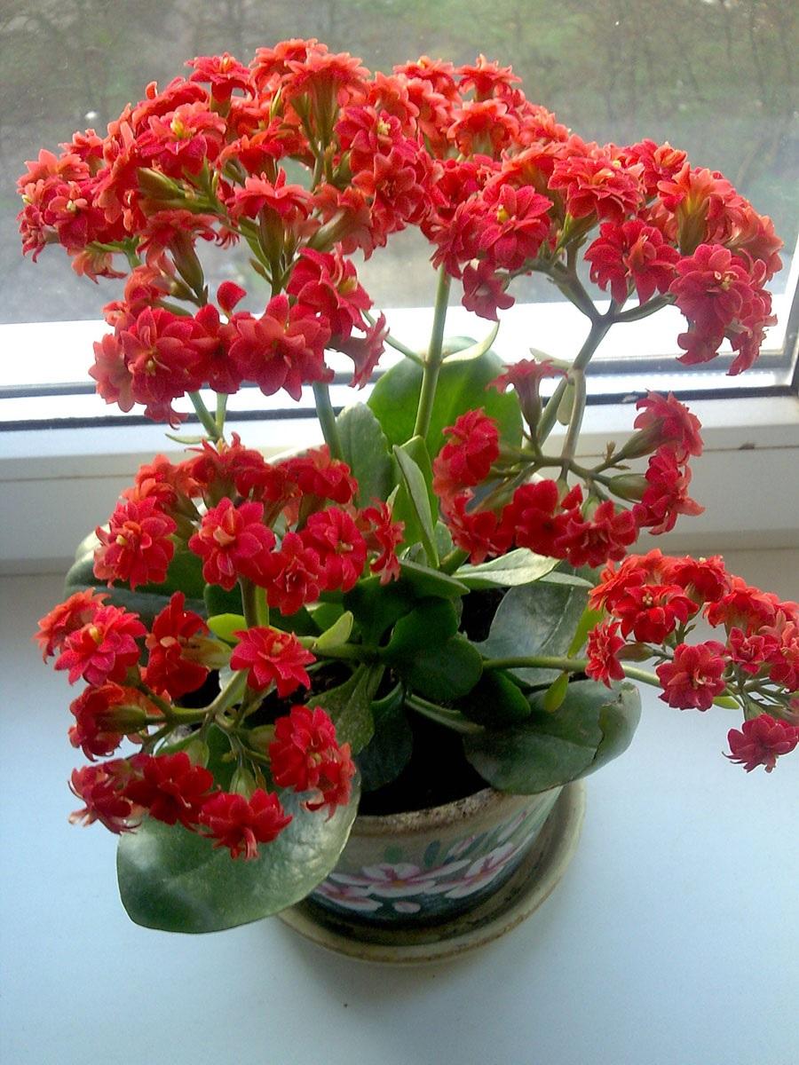 Цветение каланхоэ красными цветами