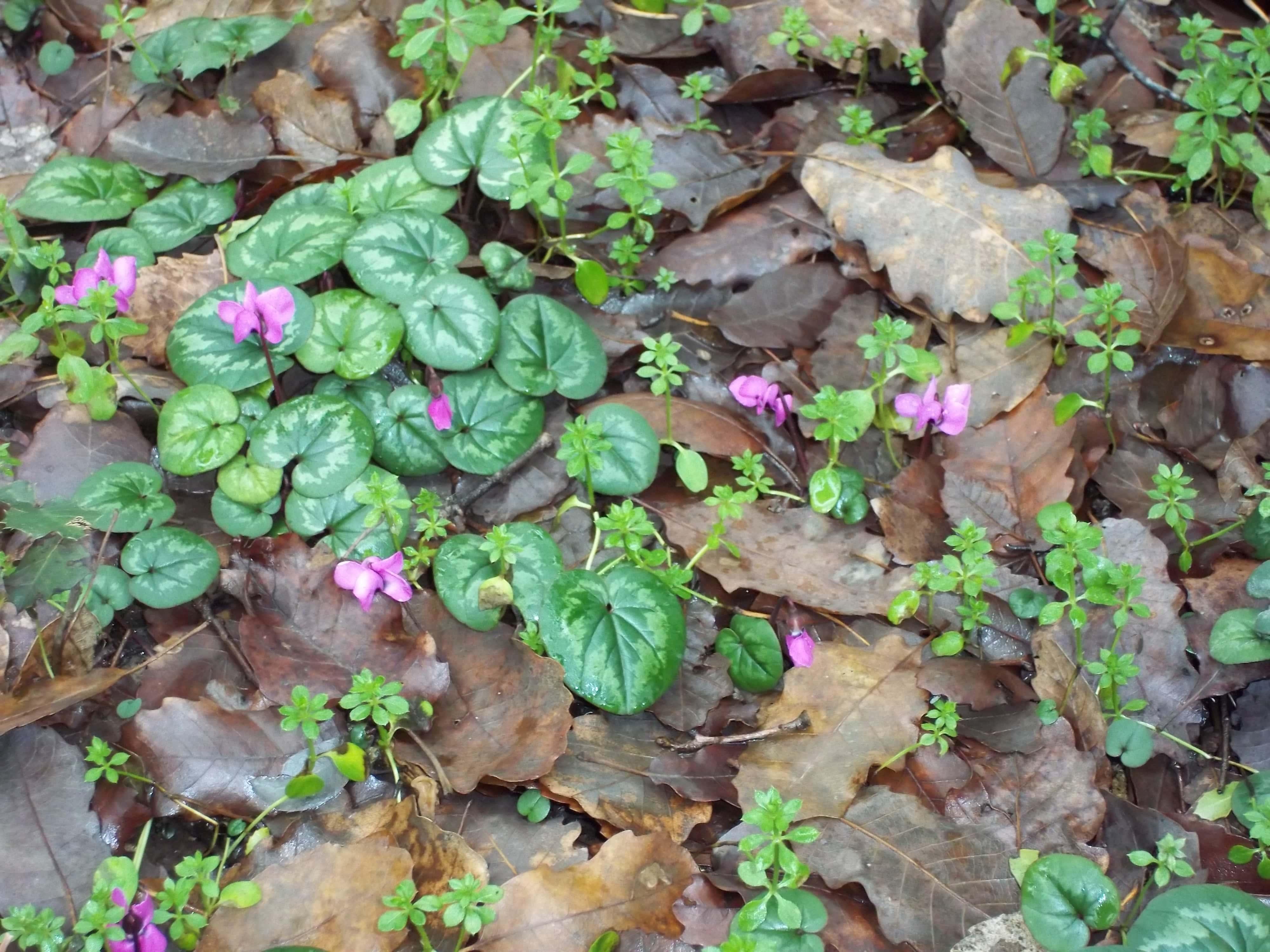 Молодые растения цикламена