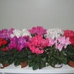 Розовые переливы на лепестках цикламена