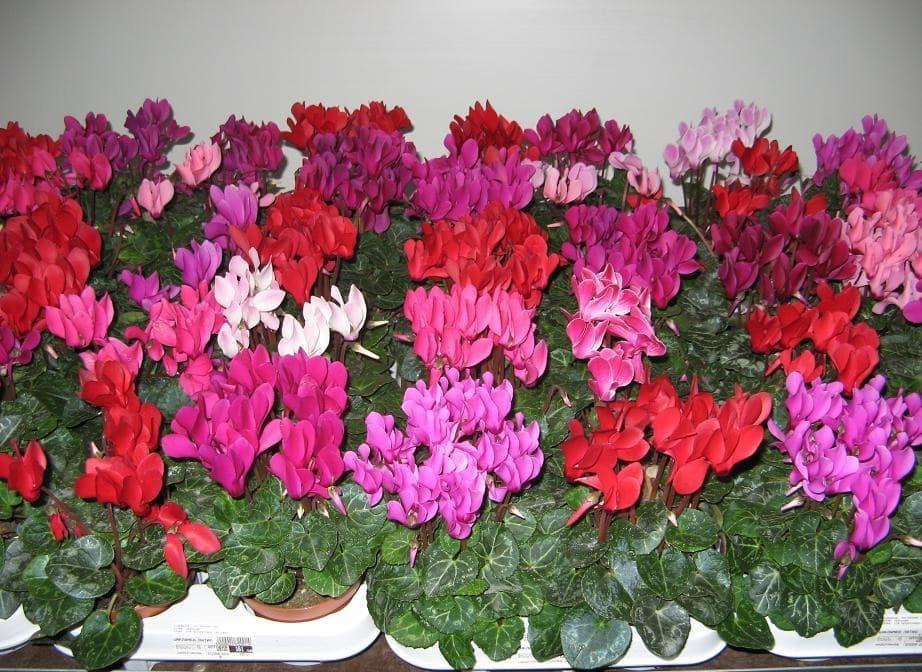 Пестрое разнообразие цветов цикламена