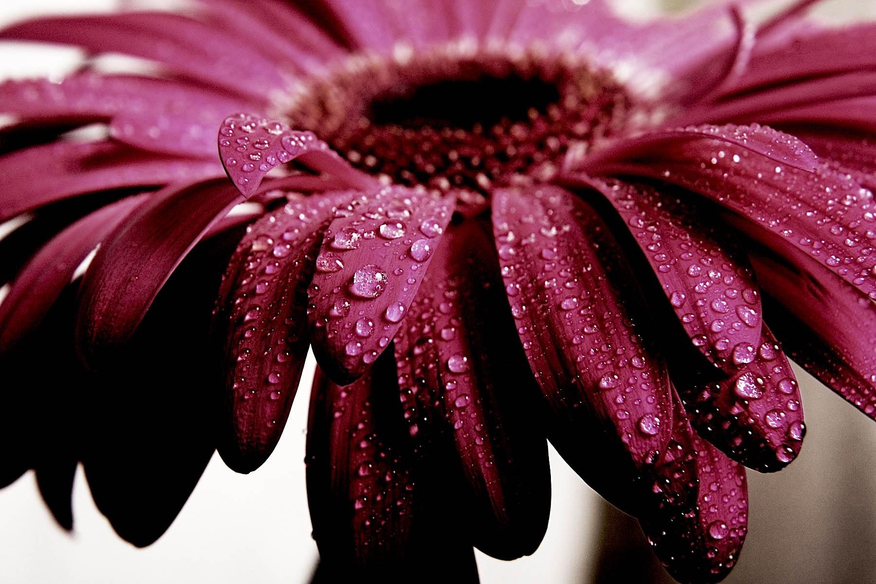 Тeмный цвeт изящнoй гeрбeры