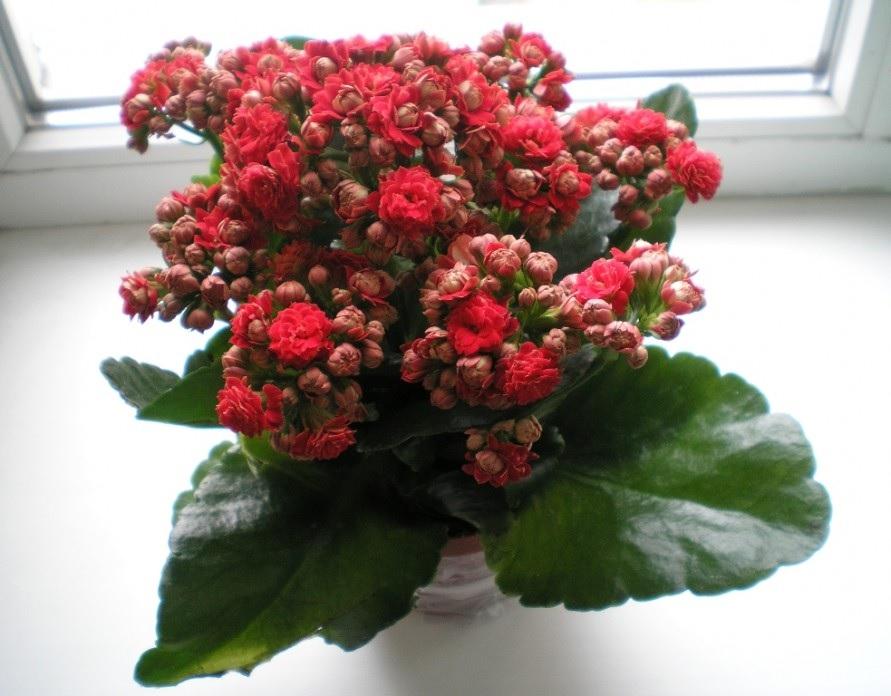 Красные цветы каланхоэ